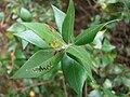 Starr 080326-3697 Myrtus communis.jpg