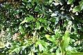 Stenocarpus sinuatus in Auckland Botanic Gardens 02.jpg