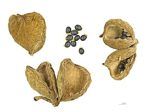 Sterculia - S. setigera, dry capsules and seeds – MHNT