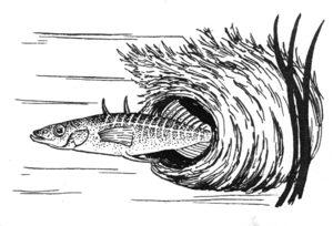 A drawing of the Stickleback family of fish.