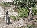 Stony Point Penguin Colony - panoramio (21).jpg