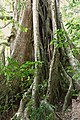 Strangler fig Curi Cancha 01.jpg