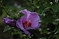 Straucheibisch Hibiscus syriacus 3119.jpg