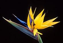 Насіння Стрелітція королівська (Strelitzia reginae)