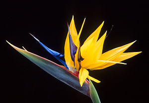 Flower of bird-of-paradise