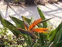 Strelitzia reginae from Kedumim 113.jpg