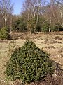 Stunted holly bush on the edge of Pig Bush, New Forest - geograph.org.uk - 140369.jpg