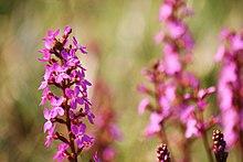 Stylidium graminifolium flower spike.jpg