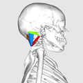 Suboccipital muscles07.png