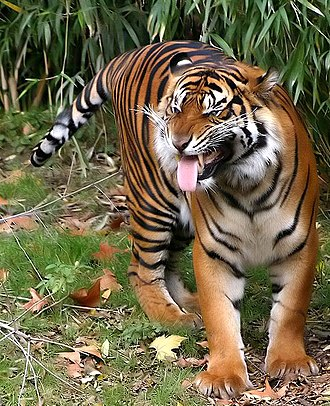 Flehmen response - Flehmen response in the Sumatran tiger