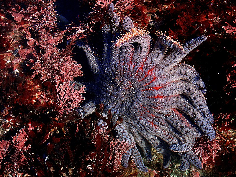 Şəkil:Sun flower sea star in tide pools.jpg