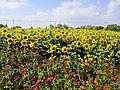 Sunflower field, Fengxian, Shanghai, Sept 27 2019 01.jpg