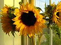 Sunflowers at sunset (147804495).jpg