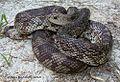 Suwanee County FL Pine Snake.jpg