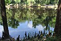Suwannee River State Park river with cypress knees.jpg