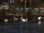 File:Swan family side by side 102332794.jpg