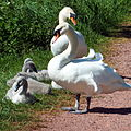 Swans and Cygnets (7274138688).jpg