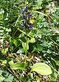 Swertia perennis subsp. cuspidata.JPG