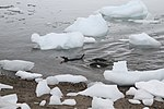 Swimming gentoo penguins (24660040621).jpg