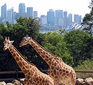 Giraffes in the Taronga Zoo with the Sydney skyline in background.