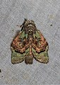 Syntypistis pallidifascia pallidifascia (Notodontidae- Dicranurinae) (22855219585).jpg