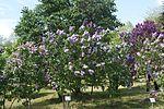 Syringa 'Polina Osipenko' in Minsk botanical garden.jpg