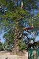 TRSTENO ORIENTAL PLANE TREE, CROATIA.jpg