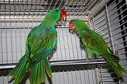 Tanygnathus megalorynchos -two in captivity-8a.jpg