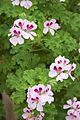 Tatton Park 2015 28 - Geranium.jpg