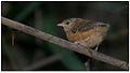 Tawny-bellied Babbler (Dumetia hyperythra) by Dharani Prakash.jpg