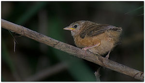 Tawny-bellied babbler - Tawny-bellied babbler (Dumetia hyperythra) chick, Coimbatore