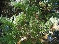 Taxodium distichum Pendens 5zz.jpg