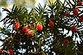 Taxus baccata (Taxaceae) 4.jpg