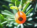 Taxus cuspidata0.jpg