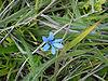 Tecophilaea violiflora Colla