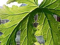 Tegenlicht-citroenplant.JPG