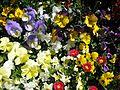 Teignmouth Blooms Again - 4 - Flickr - Sir Hectimere.jpg