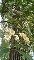 Tembusu Tree (Cyrtophyllum fragrans) 8.jpg