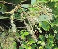 Terminalia paniculata flowers 1.JPG