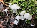 Termitomyces microcarpus (Berk. & Broome) R. Heim 564261.jpg
