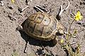 Testudo graeca - Mediterranean Spur-thighed Tortoise 04.jpg
