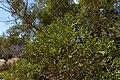 Tetraclinis articulata kz24 Morocco.jpg