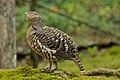 Tetrao urogallus -Bayerischer Wald, Europe -female-8a (3).jpg
