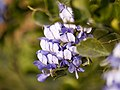 Texas Mountain Laurel (5541601958).jpg