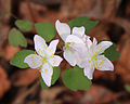 Thalictrum thalictroides rue anemone.jpg