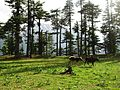 Thanda jungle near Boyun village - Kalam.jpg