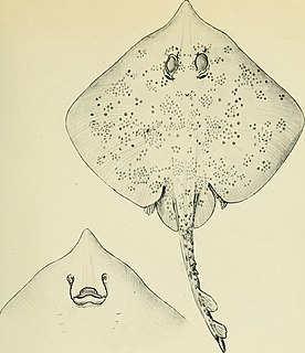 <i>Dentiraja</i> Genus of fishes