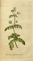 The Botanical Magazine, Plate 41 (Volume 2, 1788).png