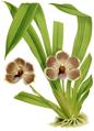 The Orchid Album-02-0030-0057-Pescatorea lehmanni-crop.png