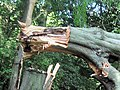 The broken end of the trunk of the fallen beech tree - geograph.org.uk - 1480214.jpg